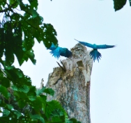 Blue and yello macaw (Ara ararauna) perching on a dead tree, looking for a place to nest.