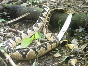Cofasi (Bushmaster) Lachesis mutus This is the biggest poisonous snake in the forest